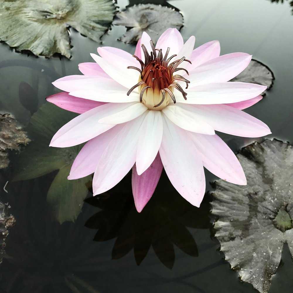 Lotus Flower in Jodhpur, India