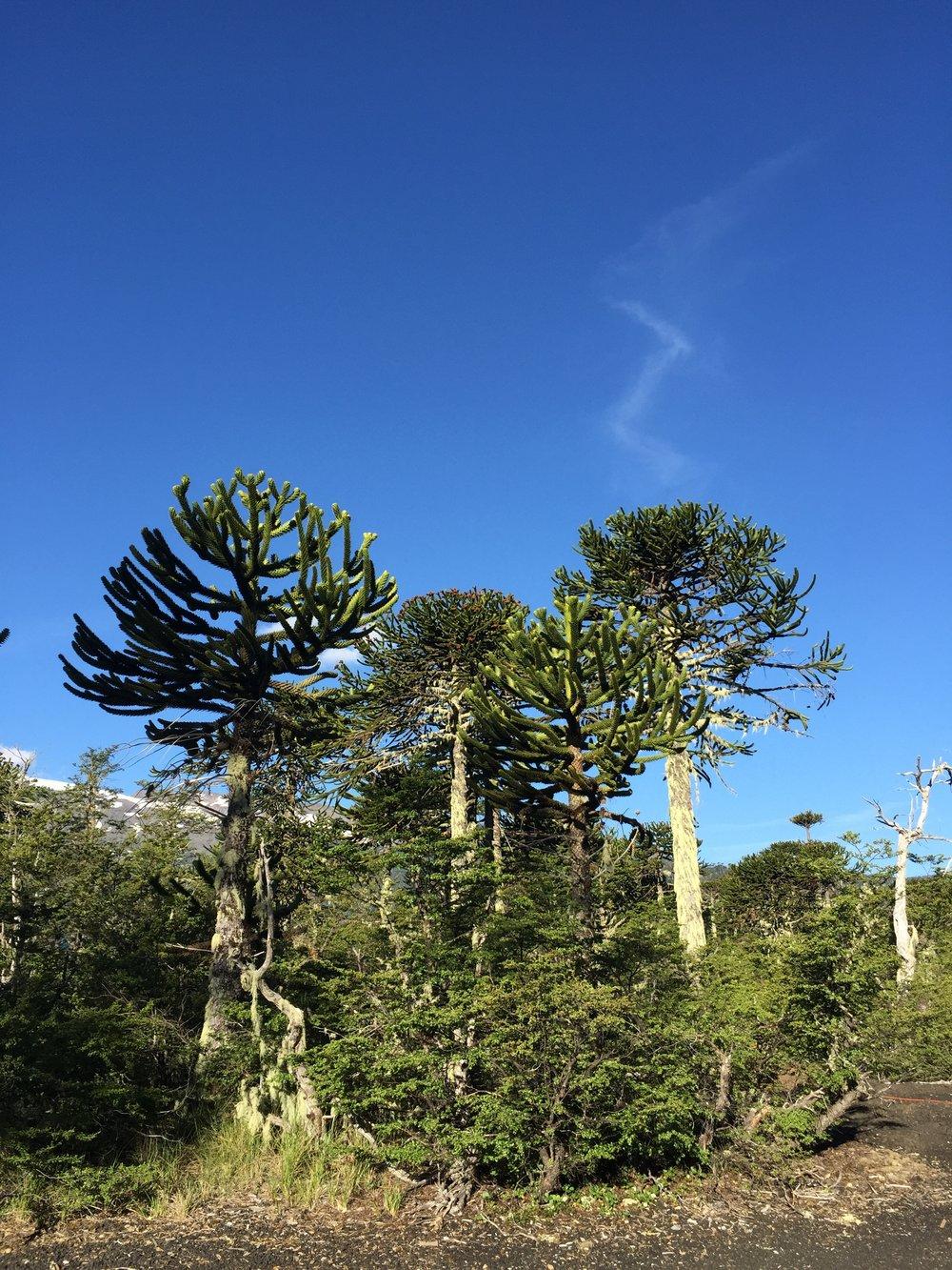 Araucaria trees Conguillio National Park with Samadhi Eco Resort Chile