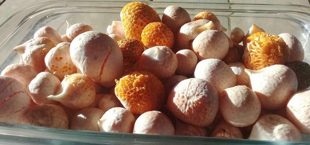 Edible mushrooms at Samadhi Eco Resort Chile