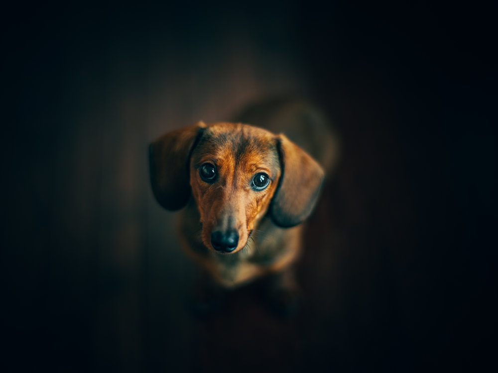 Rigatoni the Doxie:  Fujifilm GFX50s 85mm Zeiss Planar