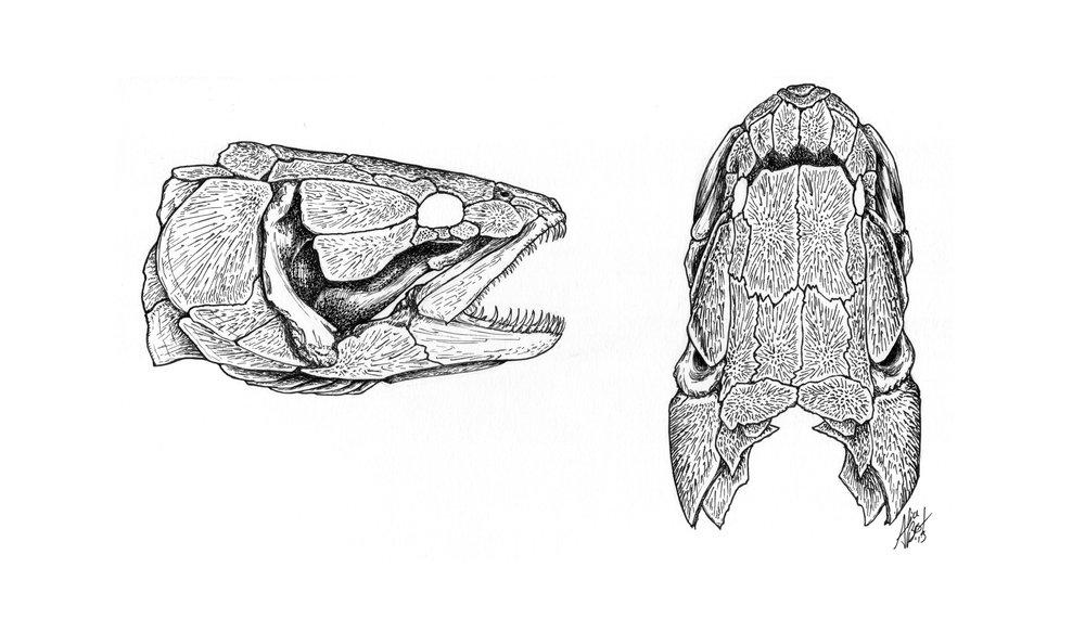 Bowfin Skull Study