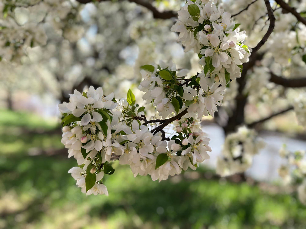 Blooming Dogwood tree on Platte River Trail in Littleton, CO