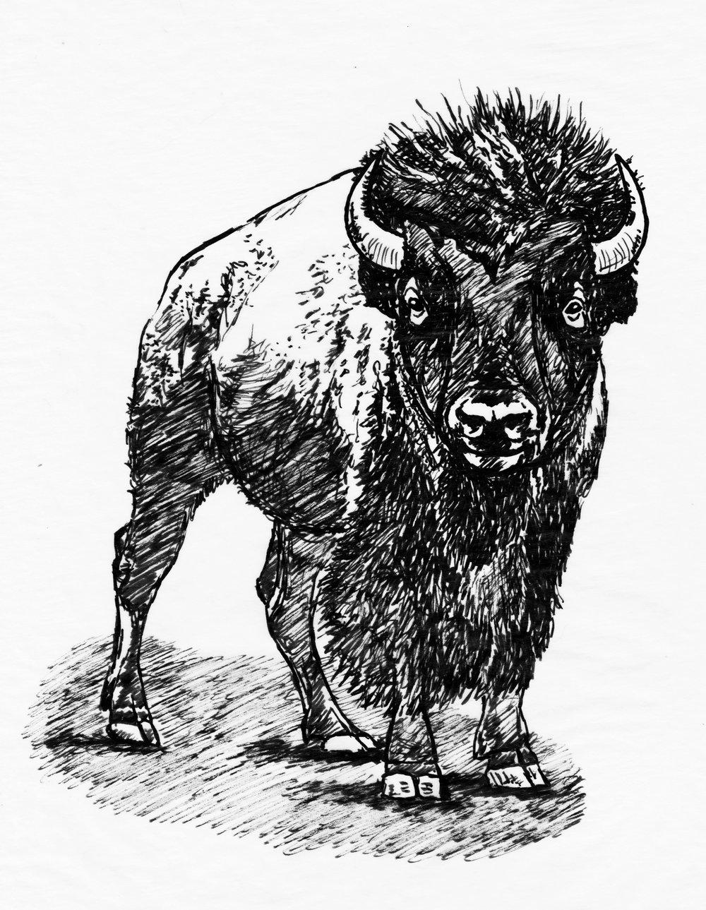 Hope-Thier-Bison.jpg