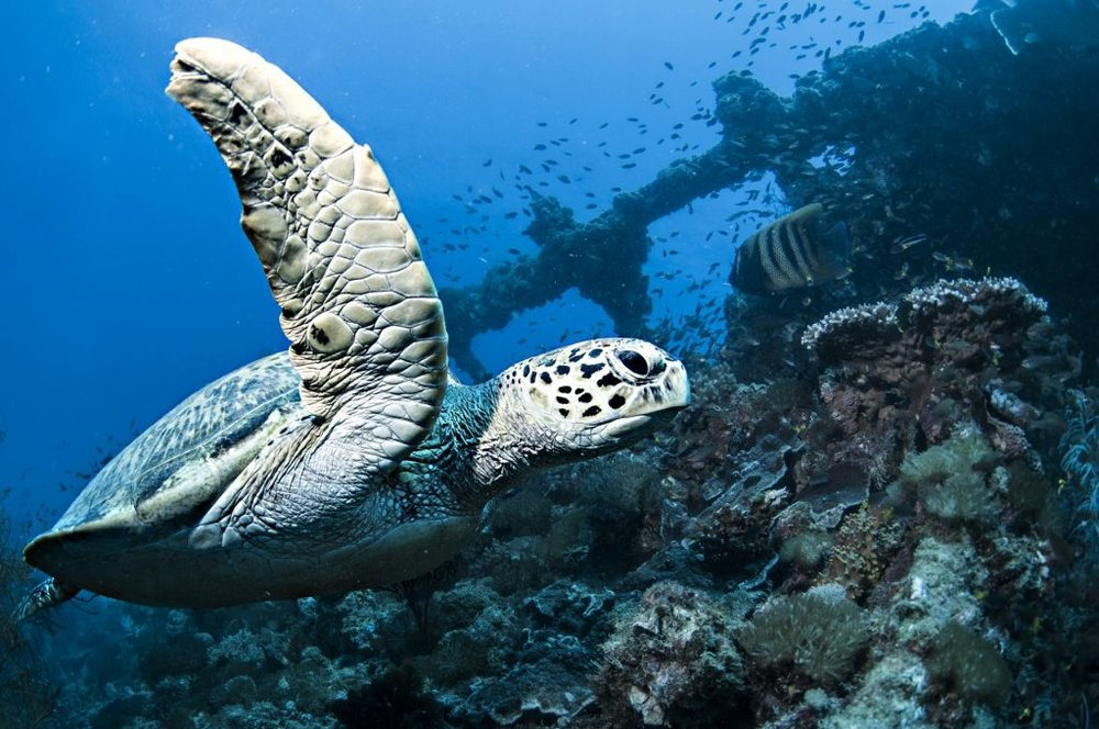 Hawksbill Turtle at Yongala Wreck- www.yongaladive.com