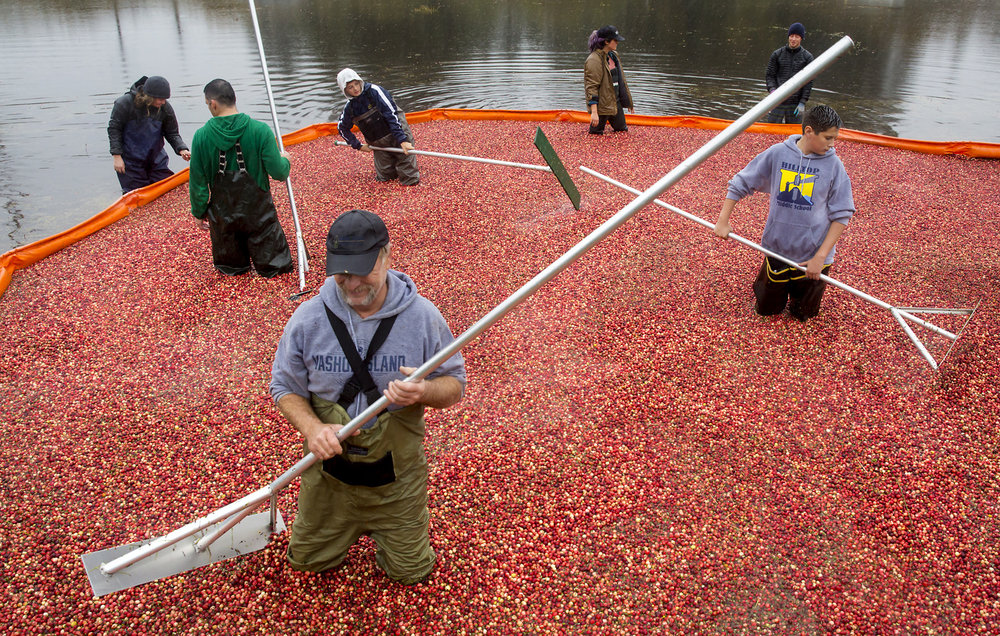 A float boom is used to corral the cranberries at Starvation Alley Farms