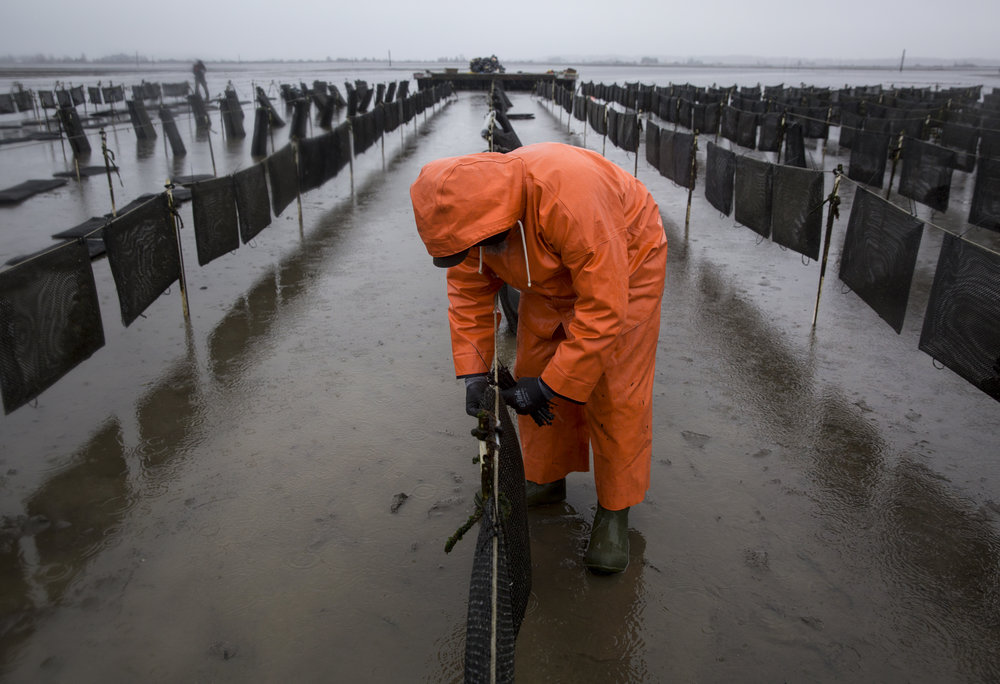 An employee works on securing oyster flip bags, a technique used to grow oysters that keep them safe and encourages growth by agitating the oysters as the tides change.