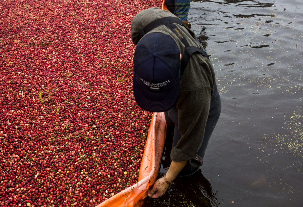 Volunteers corral the floating cranberries with a floating boom and metal rakes during the annual harvest at Starvation Alley Farms. (Sy Bean / Seattle Refined)
