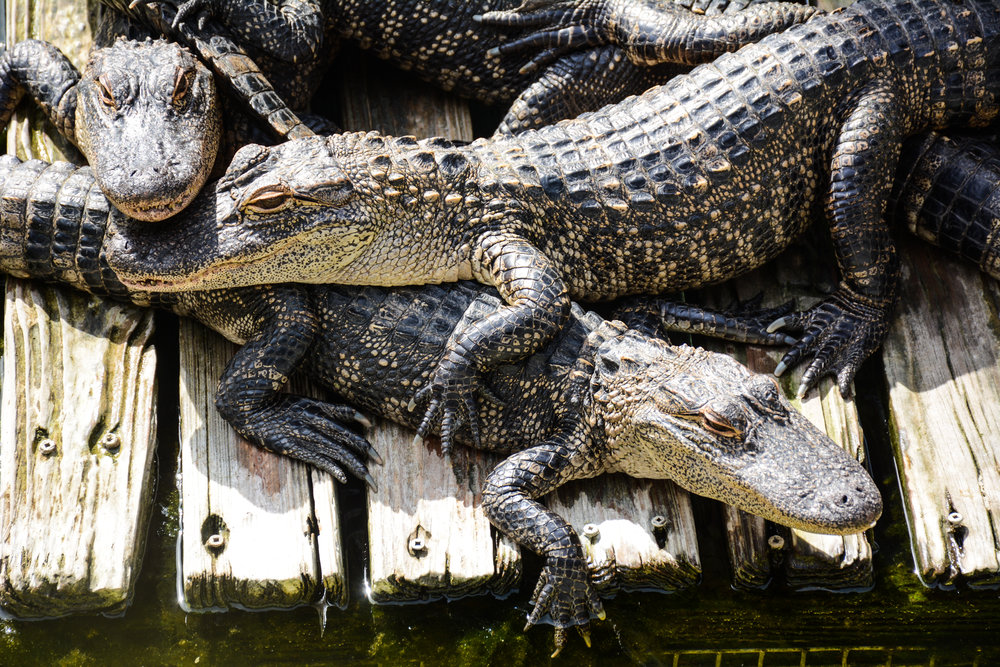 Alligators and Lines