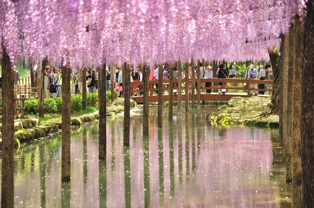 wisteria fuji tokyo ichigoichielove.jpg