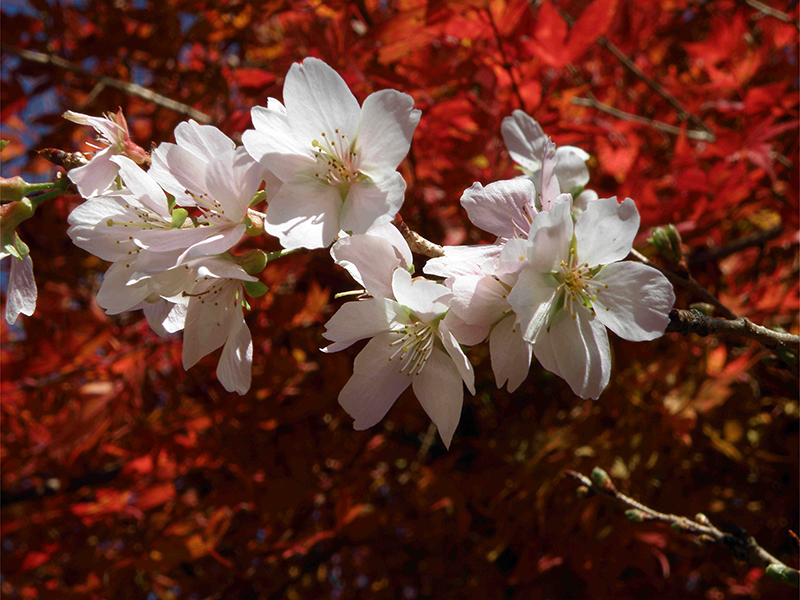 sakura in fall foliage autumn ichigoichielove.png