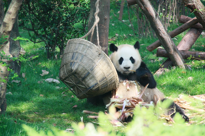 Giant Panda eating bamboo in Chendgu, China