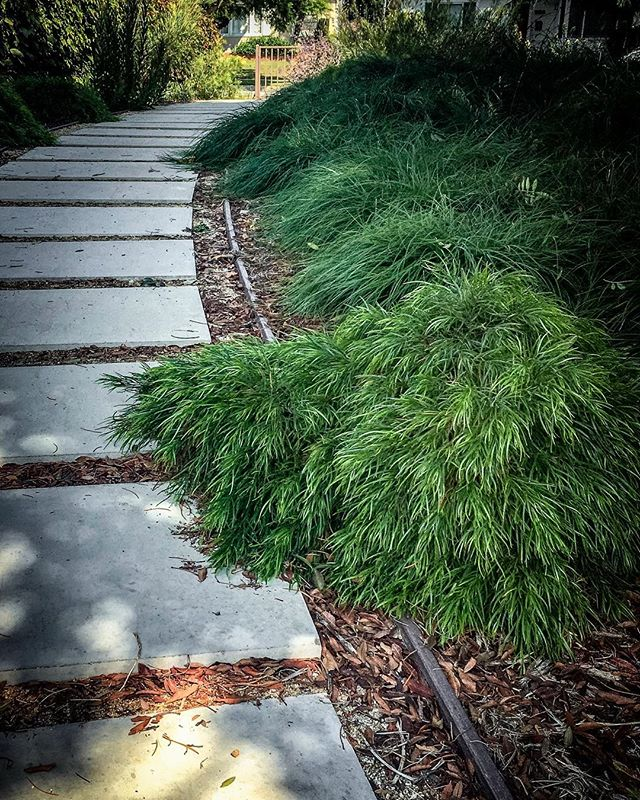 Down the garden path with Cousin It. ⠀⠀⠀⠀⠀⠀⠀⠀⠀ Cousin Itt, aka Acacia cognata, is a wild and crazy guy. Never has a bad hair day 😉 and his friend accompanying him here, Carex tumulicola, isn't far behind.. they are fast friends in a partly shady, tidy yet flowy area, as along this path of precast pavers. ⠀⠀⠀⠀⠀⠀⠀⠀⠀ Low water, low maintenance and easy on the eye.. you can't eat em but they still give us plenty of oxygen without the water sucking care-taking of a lawn 💚 . . . #gardentherapy  #acaciacognata #carex #droughttolerantplants #droughttolerant  #downthegardenpath #gardendesigns #concretepavers #lowwaterhighstyle #gardendesigner #landscapedesigner #outdoorlivingspace #secretgardens #apld #sunsetmag #sunsetplants #pacifichorticulture #lifeandthyme #gardenconservancy #bhggarden #gardendesignmag #finegardening #gardenersworld #gardenista #betterhomesandgardens #gardensillustrated #houseandgarden  #mysteriousgarden #gardendelights #gardeninginspiration