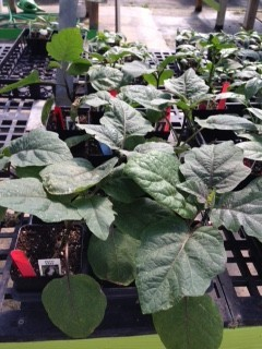 Eggplant-plants.jpg