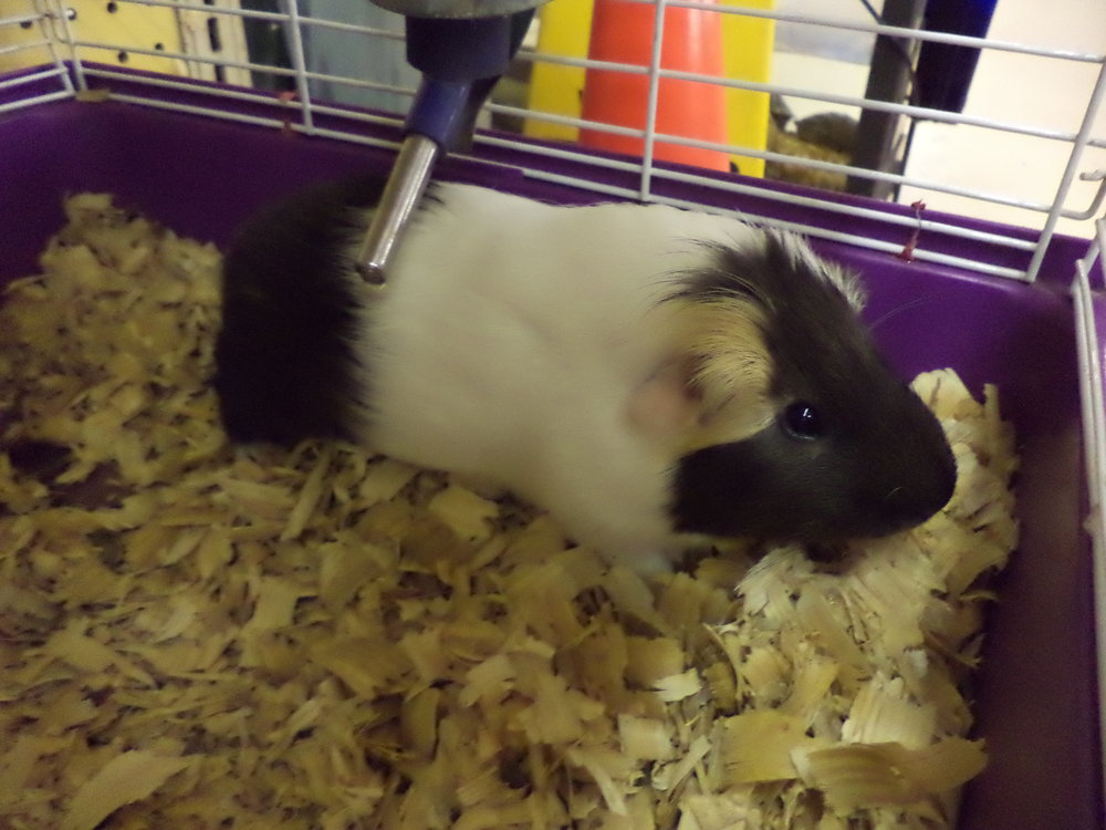 Guinea Pigs Are Very Friendly Pets! They Can Be Used As A School Or Home Pet.  We Have All The Supplies To Go Home With These Fun Little Critters.