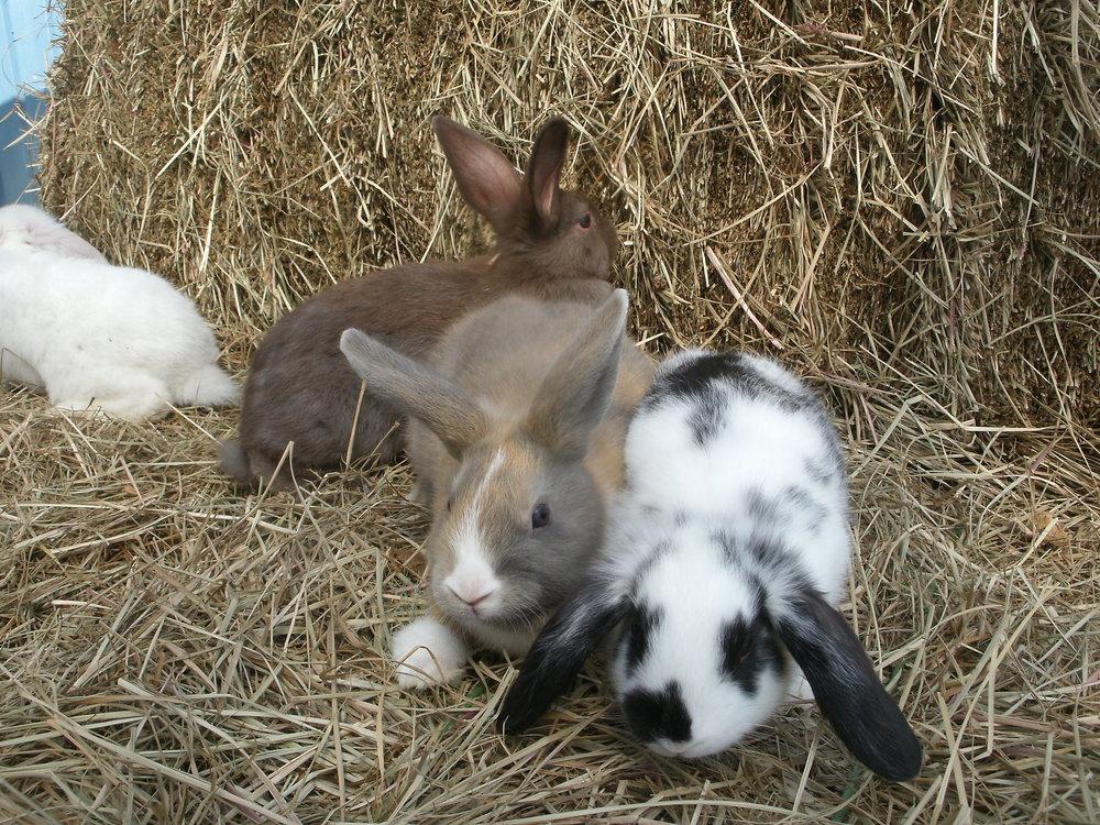 Rabbits-pets