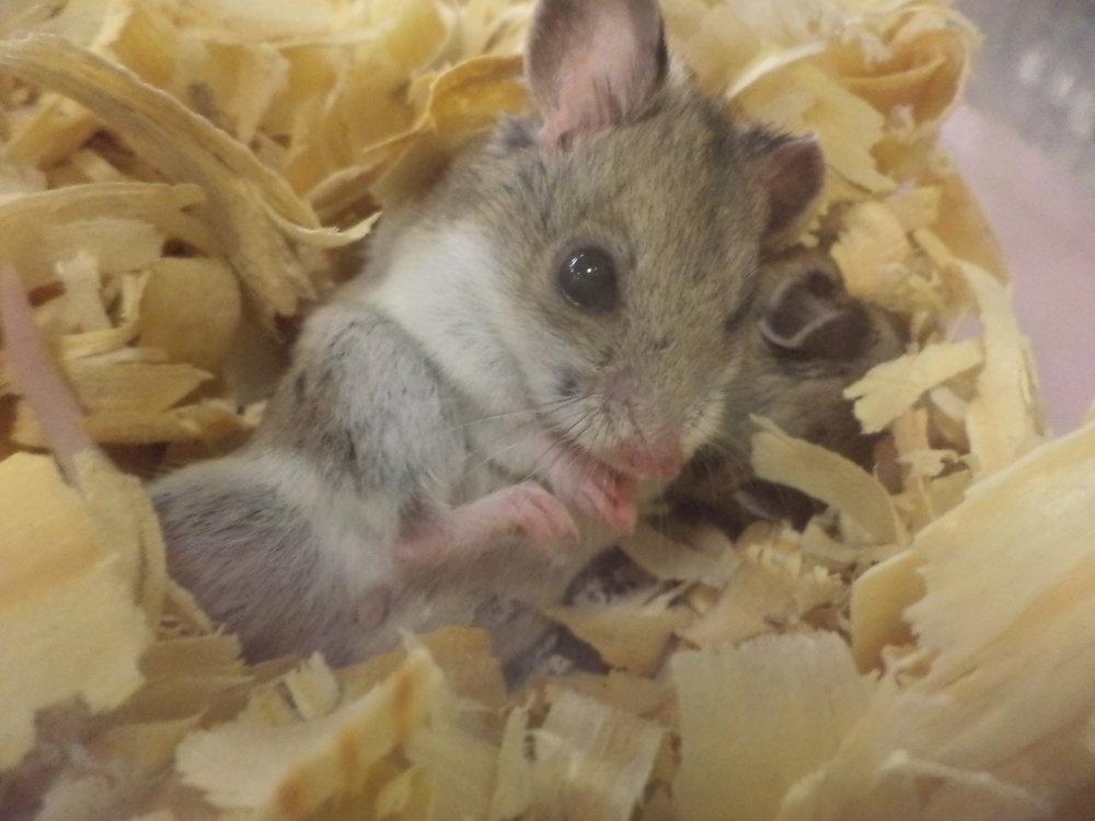 Robo Hamster-pet