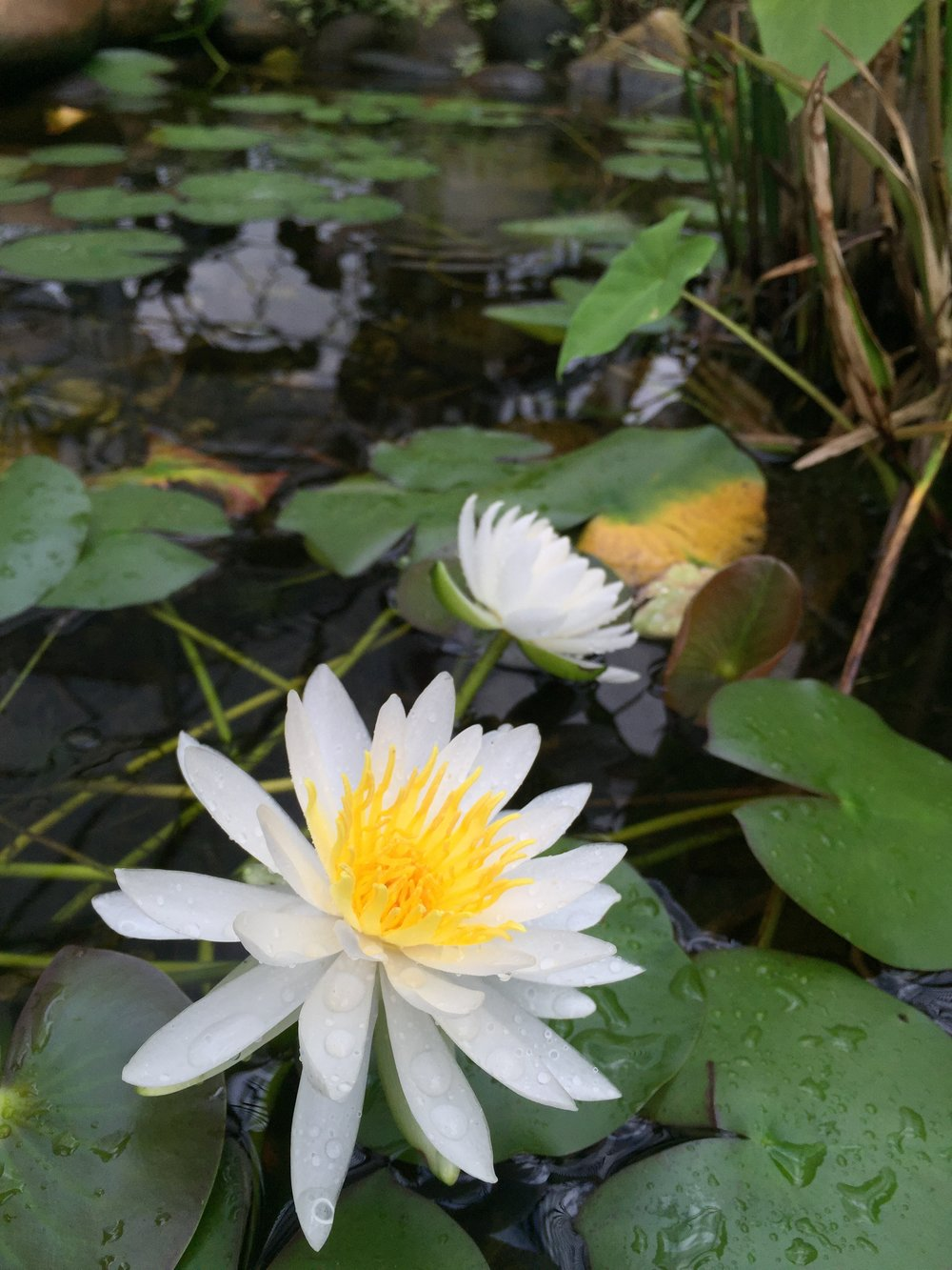 Pond Lilly.JPG