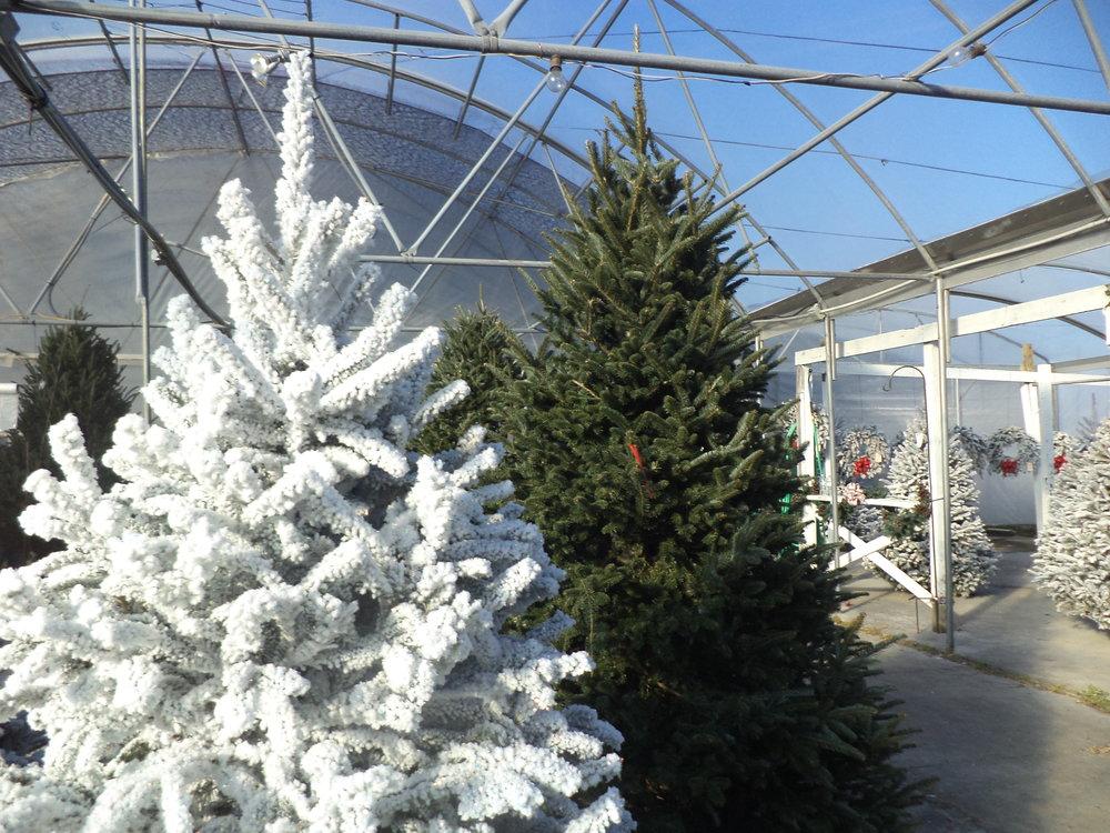 Christmass Trees 3.JPG