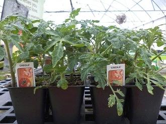 tomato-plants.jpg