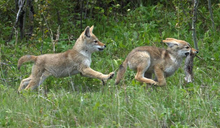coyote_9676.jpg