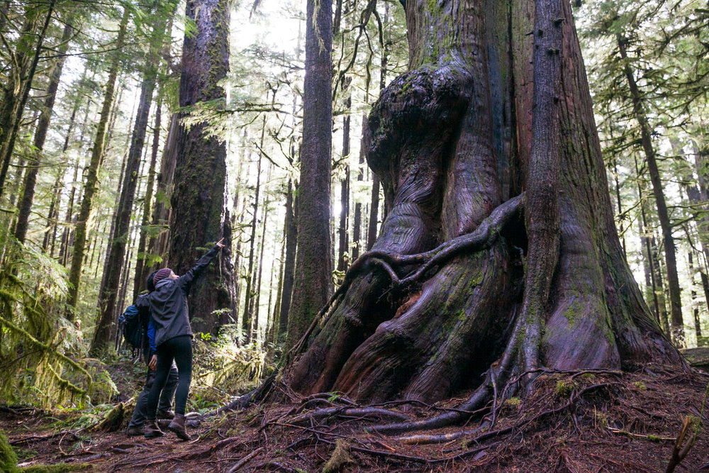 Hikers visit the giant redcedars and Douglas-fir trees in the Avatar Grove near Port Renfrew, BC. Photo courtesy of TJ Watt.