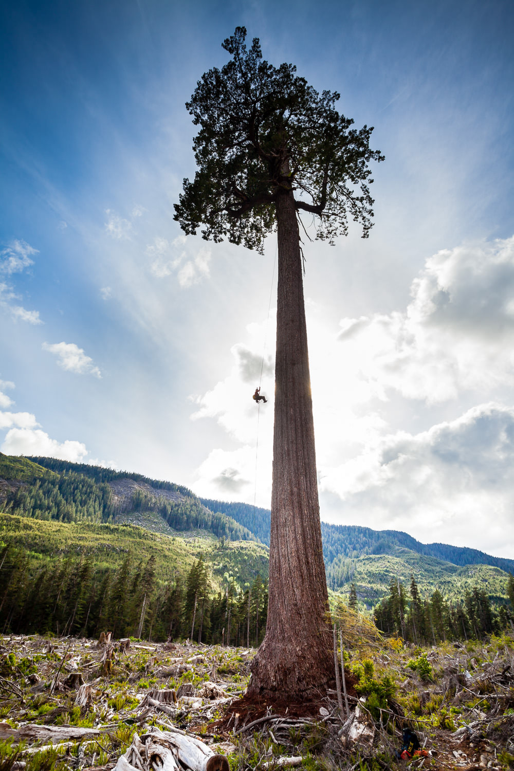 A tree climber hangs suspended from Big Lonely Doug, Canada's 2nd largest Douglas-fir tree, growing near Port Renfrew. Photo courtesy of TJ Watt.