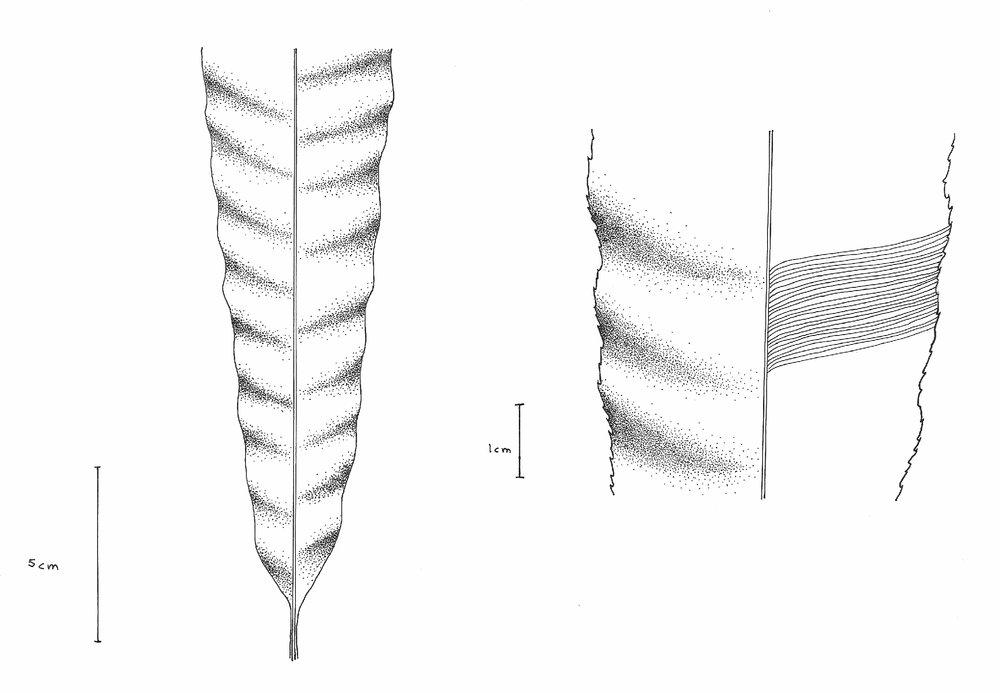 Nilsonocladus