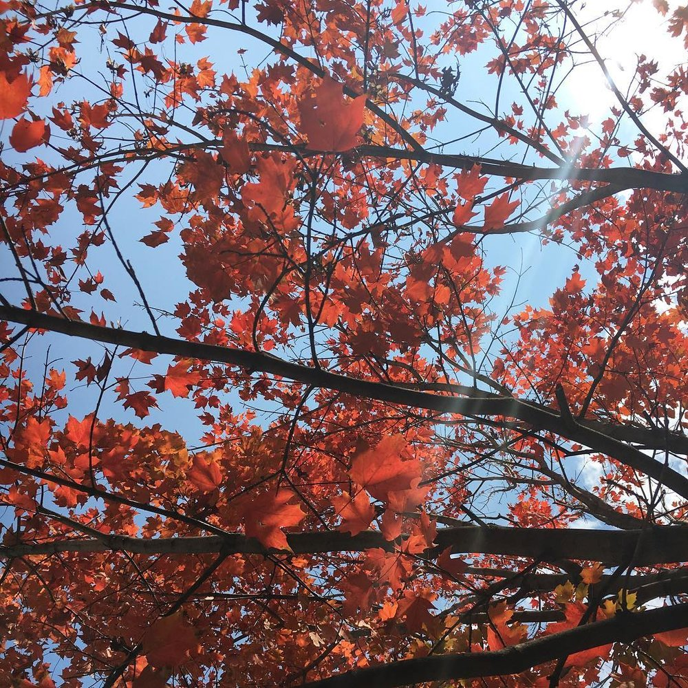 image: sun shining through red maple leaves
