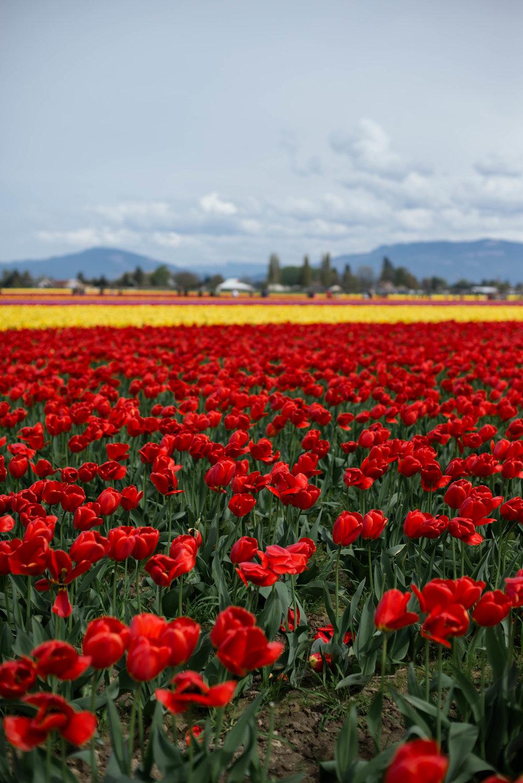 Tulips-17.jpg