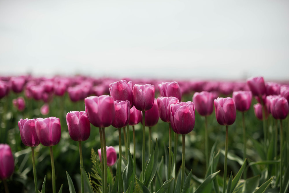Tulips-22.jpg