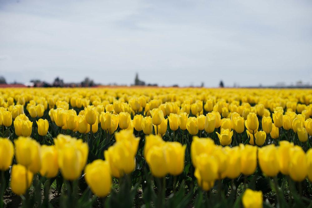 Tulips-38.jpg