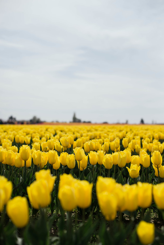 Tulips-39.jpg