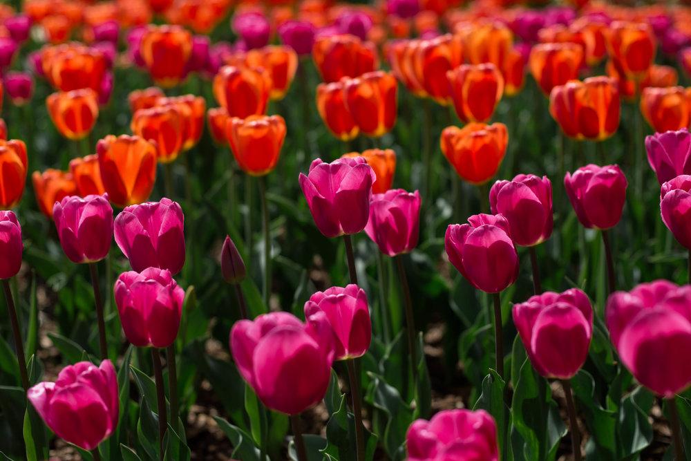 Tulips-45.jpg