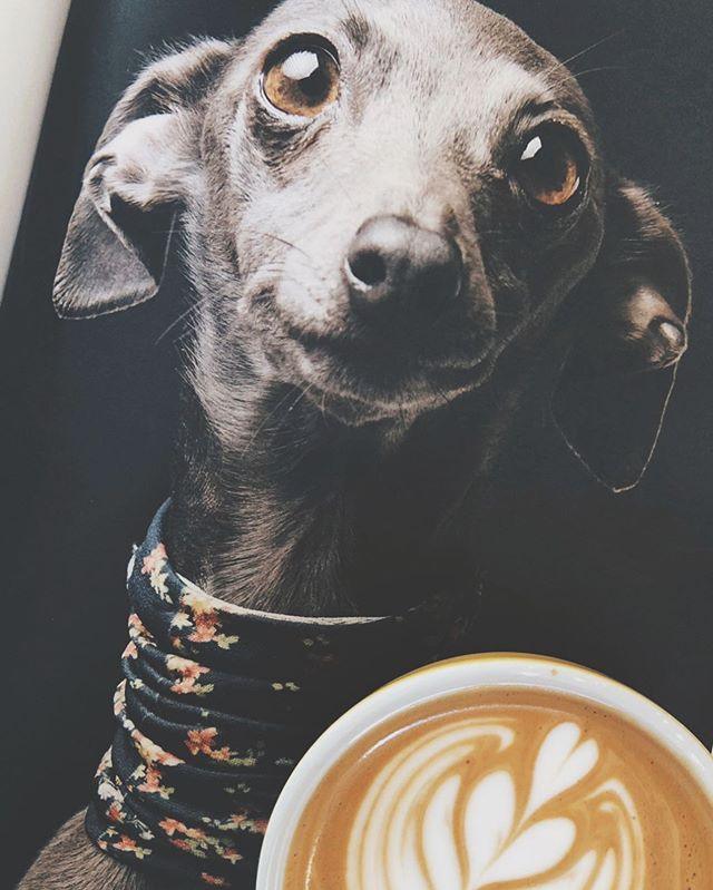 Posh dogs only drink the best of coffee - @wolfoxcoffee #wolfoxcoffee 🙄🤦🏻♂️🐶
