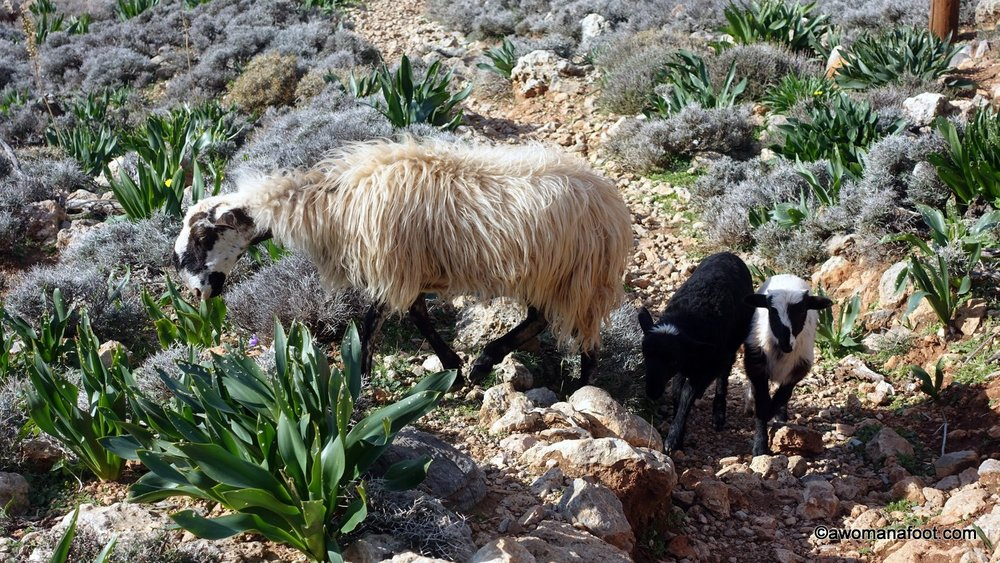 Are you considering visiting the beautiful island of Crete? Well, I hope you like goats! Those fuzzy creatures are everywhere you go! Check how cute goats (and sheep!) on Crete are! Awomanafoot.com #Crete #Greece #Europe #goats What to see on Crete? | Ecotourism on Crete | Cretan Animals | Hiking and camping on Crete |