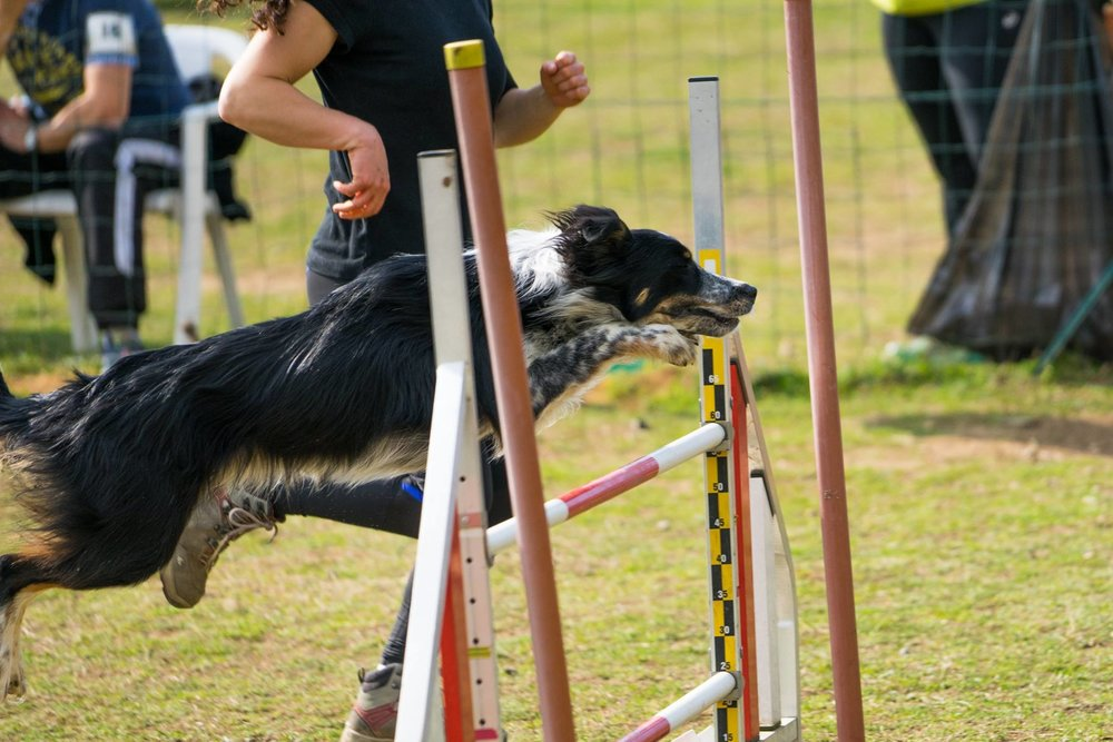 muzo-chien-lyon-agility-border-collier-saut-c.jpg