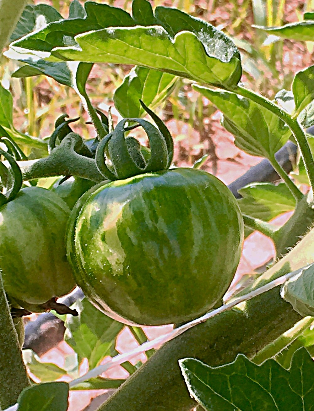 GREEN ZEBRA TOMATO HEIRLOOM