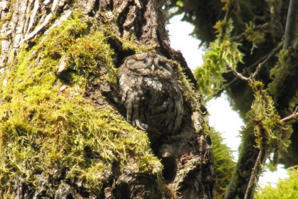 Well-camouflaged Screech-Owl nests in a large, old maple tree