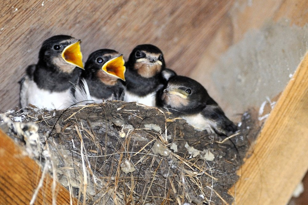 Juvenile Barn Swallows on the nest by Kev Chapman.jpg