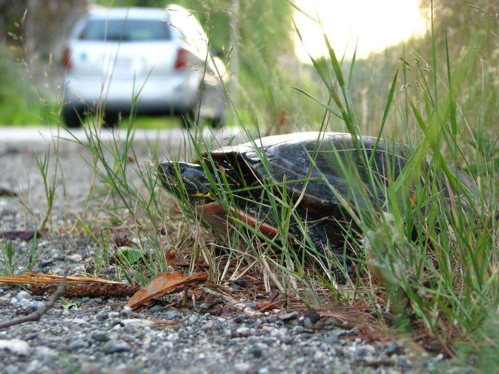 01 turtle nesting roadside.jpg