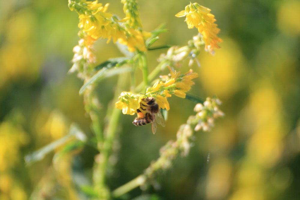 Mesilane-laiul