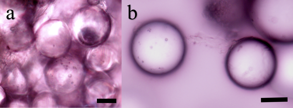 Figure 6. Glass microspheres covered in fibrous cement proteins. (a) Cluster of multiple beads glued together by the cement. (b) Two beads connected by cement. Scale bars ~ 250 μm.