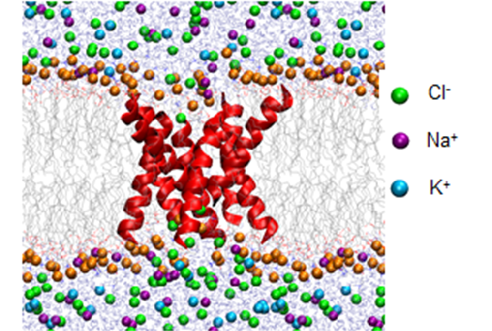 Figure 3. Molecular dynamics simulation setup for conductance analysis in the bacterial membrane environment. This was the orientation of the octamer peptide, and a similar setup followed for other structures.