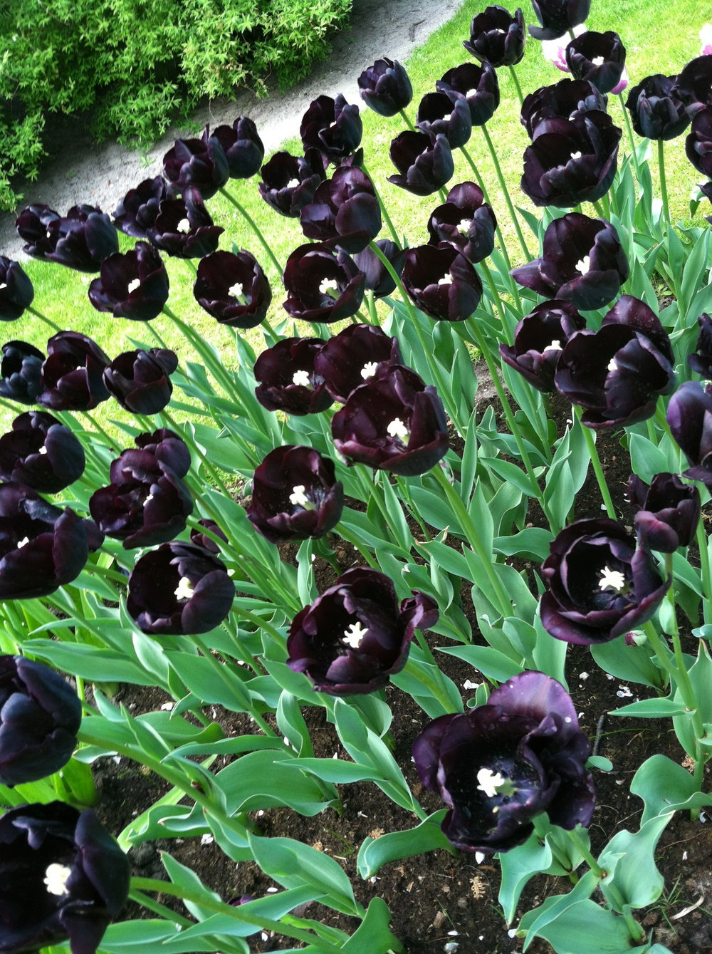 Black tulips. Like, soy moody.