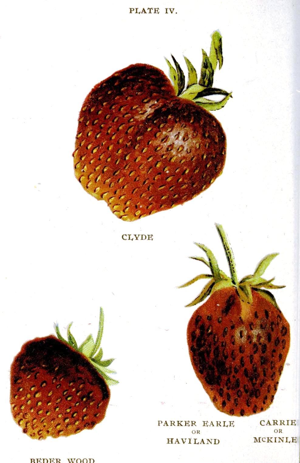 Botanical-Fruit-Biggles-Berry-Book-1899-Strawberry-2.jpg