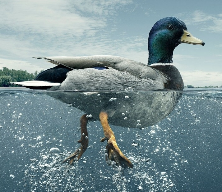 Ducks look very different above or below the water.