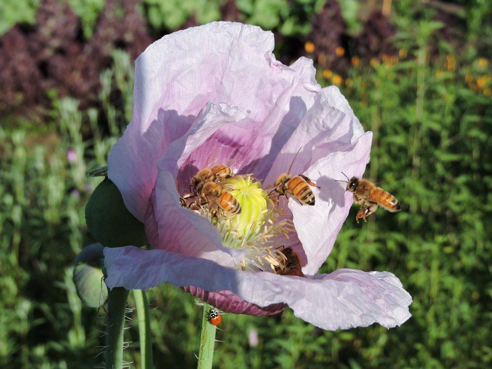 Elka white breadseed poppy grand prismatic seed elka white breadseed poppy mightylinksfo