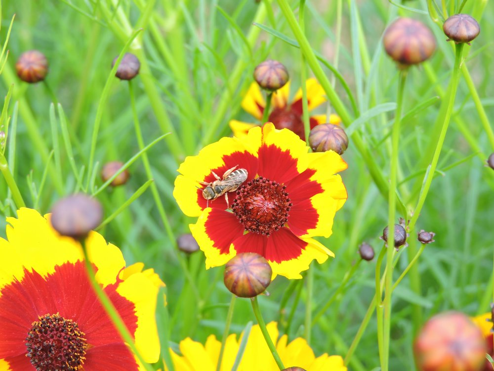 Dyer's Coreopsis