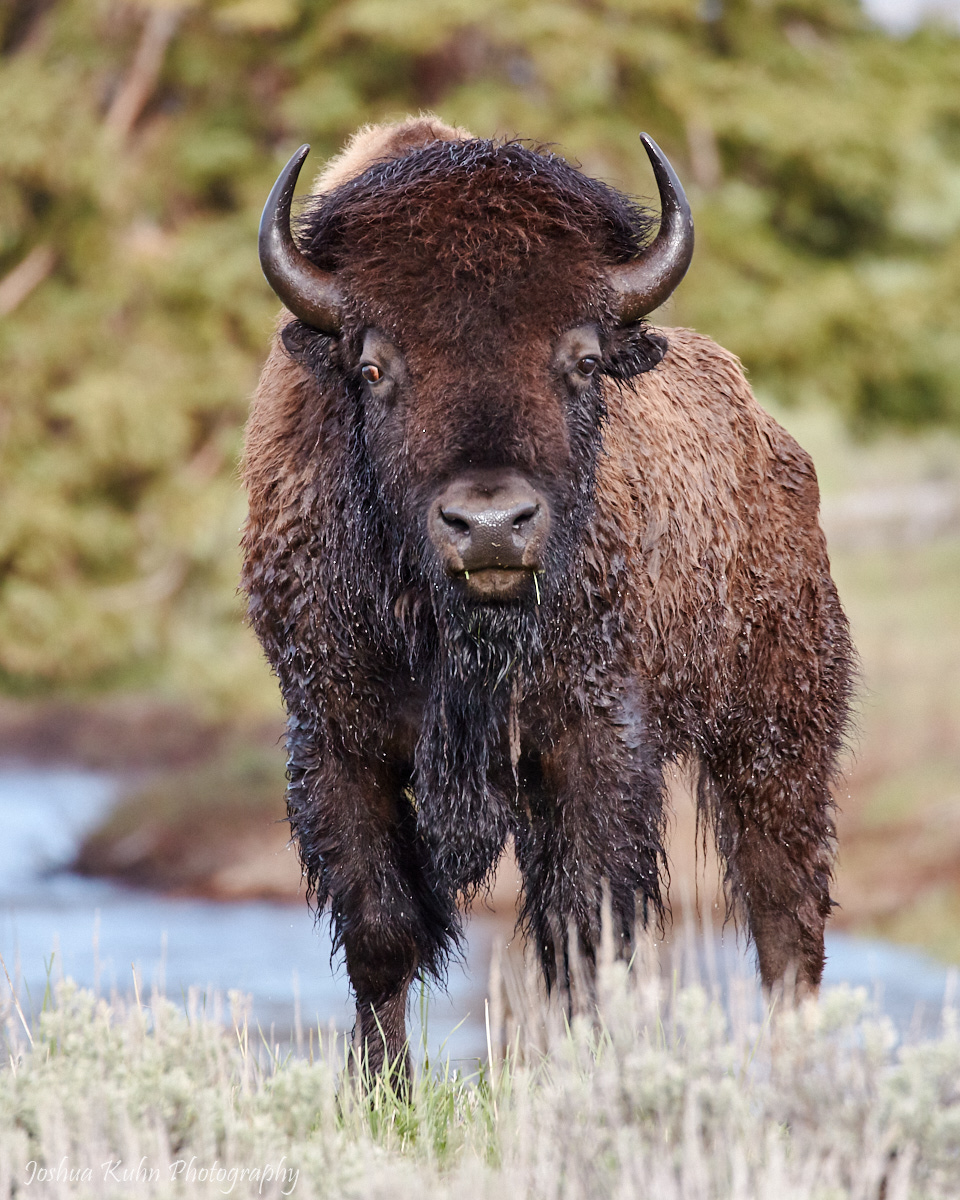 Bathed Bison  Purchase