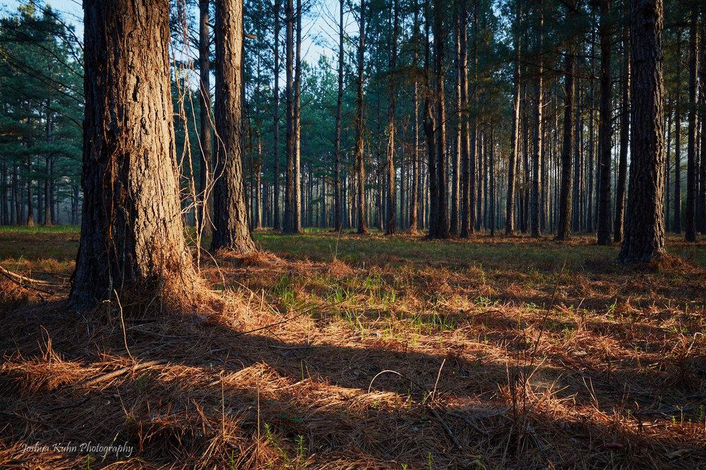 Mississippi Woods
